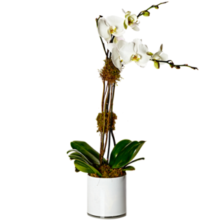 White Double Stem Orchid Plant