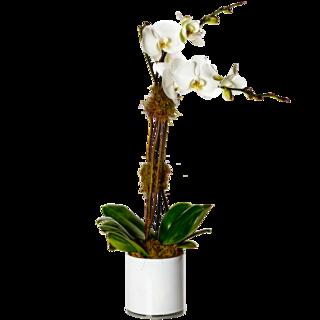 White Double Stem Orchid Plant
